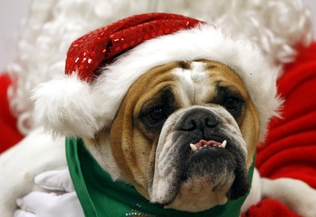 Honey, an English Bulldog, enjoys holiday festivities at PetSmartÕs Santa Claws¨ photo event Saturday, December 1, 2012 in Fort Worth, Texas. (Richard W. Rodriguez/AP Images for PetSmart)